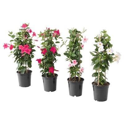 DIPLADENIA Plante, Bægerranke, 17 cm