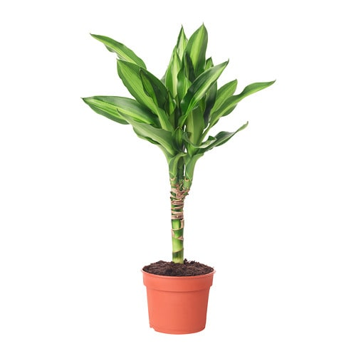 Dracaena plante ikea for Plante ikea