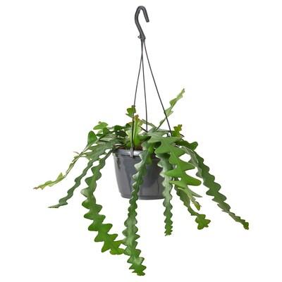 EPIPHYLLUM Hængeplante, Bladkaktus, 15 cm