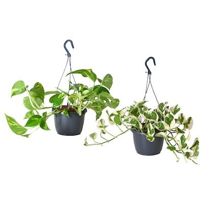 EPIPREMNUM Hængeplante, Guldranke forskellige slags, 15 cm