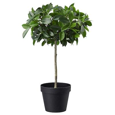 FEJKA Kunstig potteplante, indendørs/udendørs/Birkefigen gummitræ stamme, 12 cm