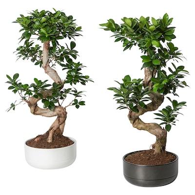 FICUS Potteplante med urtepotte, bonsai/drejet forskellige farver, 22 cm