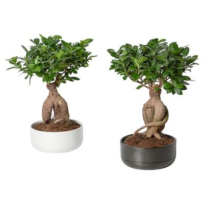 FICUS Potteplante med urtepotte, bonsai/forskellige farver, 22 cm