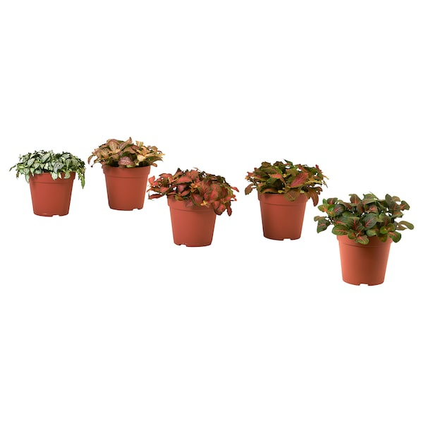 FITTONIA Plante, slangeskindsplante/forskellige slags, 12 cm