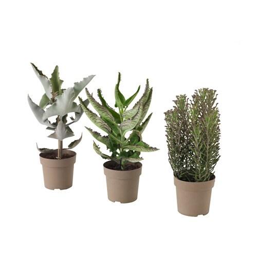 Kalanchoe madagascar plante ikea for Plante ikea