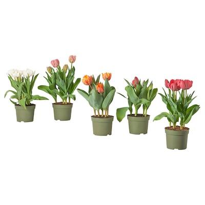 LÖKARYD Plante, forskellige slags/Tulipan, 12 cm