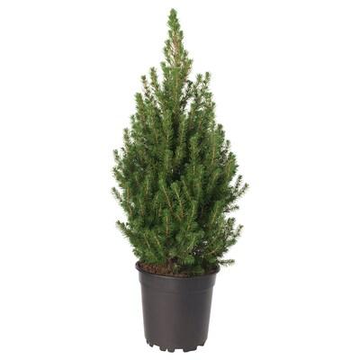 PICEA GLAUCA CONICA Plante, sukkertopgran, 19 cm