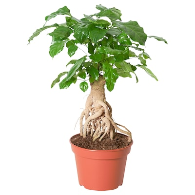 RADERMACHERA Plante, Kinadukke, 15 cm