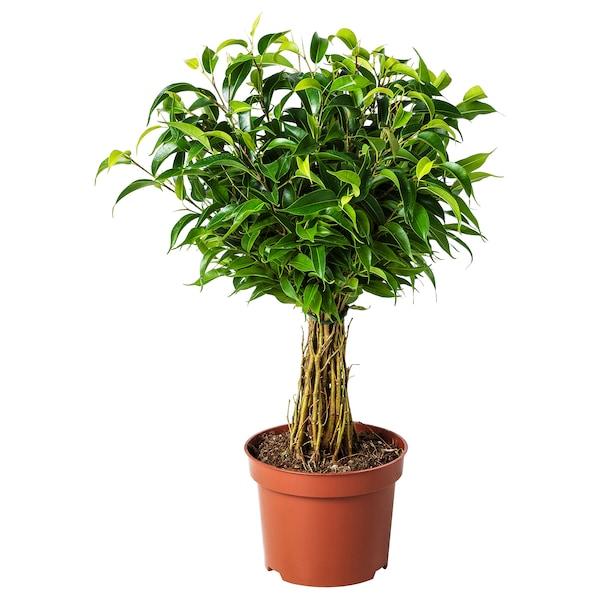 FICUS BENJAMINA 'NATASJA' Planta, Ficus benjamina natasja, 12 cm