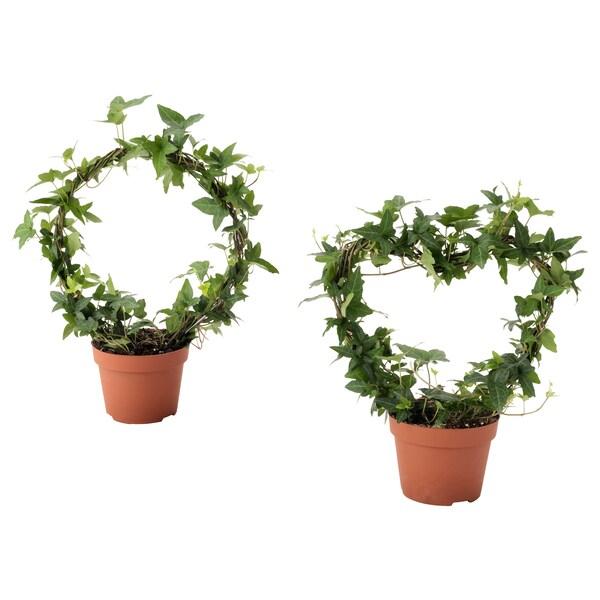 HEDERA HELIX Planta, Heura diferents espècies, 13 cm