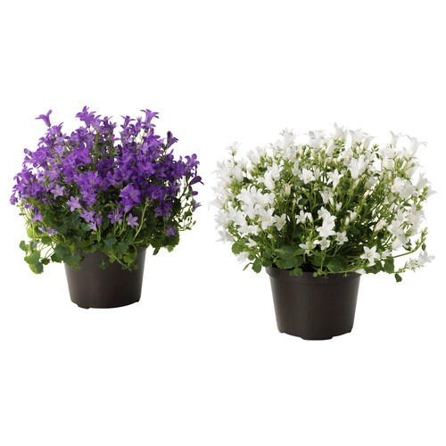 CAMPANULA PORTENSCHLAGIANA potted plant Bell flower 10.5 cm 22 cm