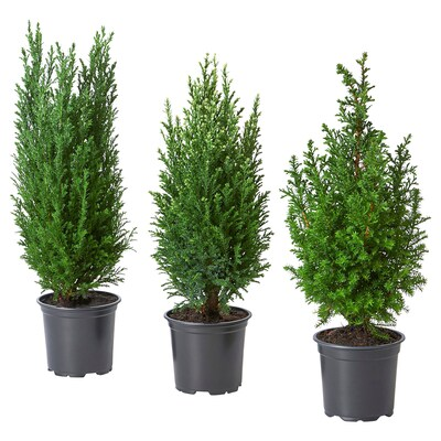 CHAMAECYPARIS Potted plant, False cypress assorted, 10.5 cm