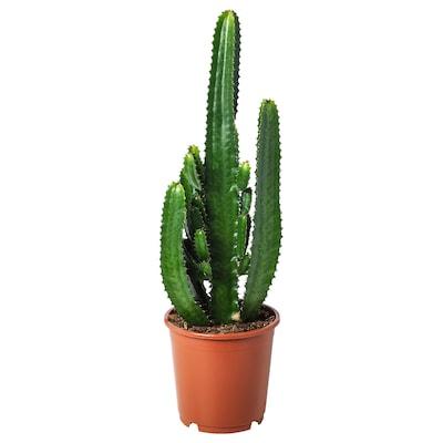 EUPHORBIA ACRURENSIS Potted plant, 24 cm