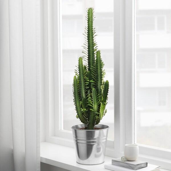EUPHORBIA potted plant 17 cm 55 cm