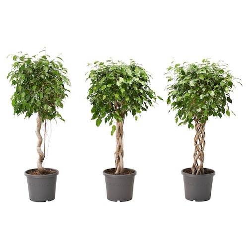 FICUS BENJAMINA potted plant weeping fig assorted 24 cm 90 cm