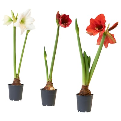 HIPPEASTRUM Potted plant, Amaryllis/2 buds assorted colours, 13 cm