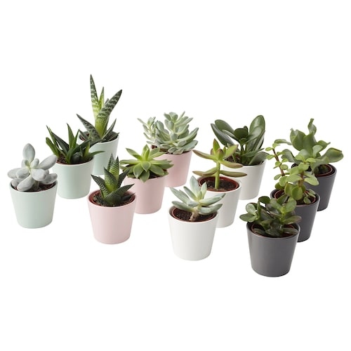 SUCCULENT potted plant with pot assorted 6 cm 10 cm 3 pack