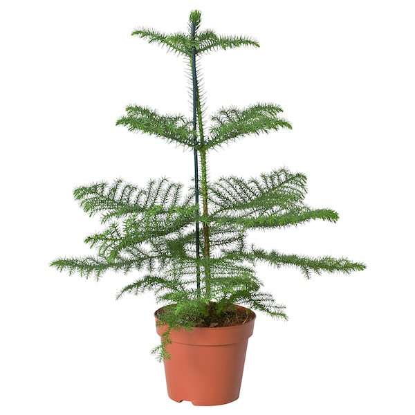 ARAUCARIA Planta, araucaria, 17 cm