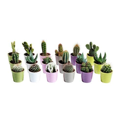 Cactaceae planta con maceta ikea - Cactus en macetas pequenas ...