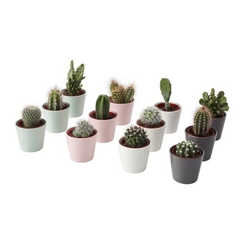 CACTACEAE Planta con maceta, cactus, mezcla de especies de plantas ...