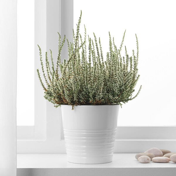 CALLUNA Planta, brezo /colores variados, 13 cm