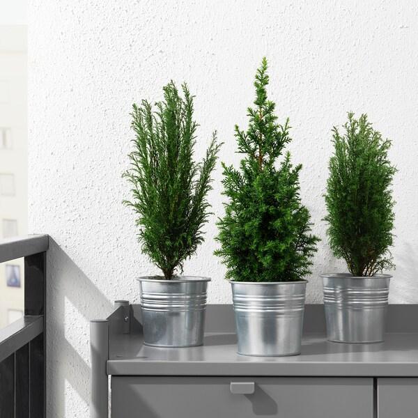 CHAMAECYPARIS Planta, ciprés mezcla de especies de plantas, 10.5 cm