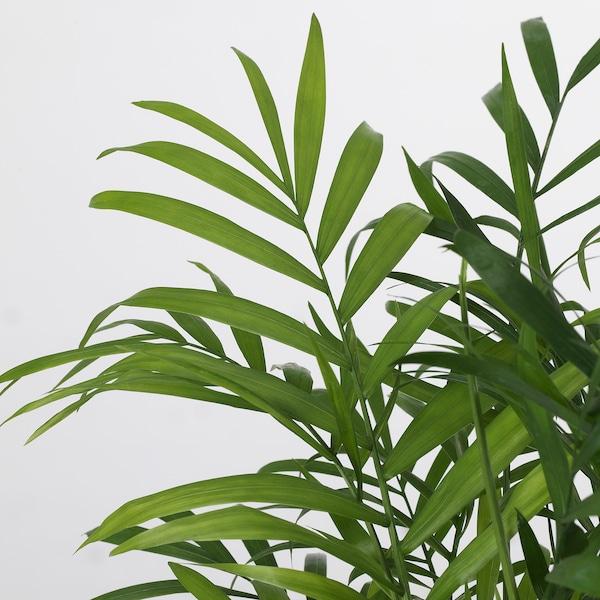 CHAMAEDOREA ELEGANS Planta, palmera de salón, 9 cm