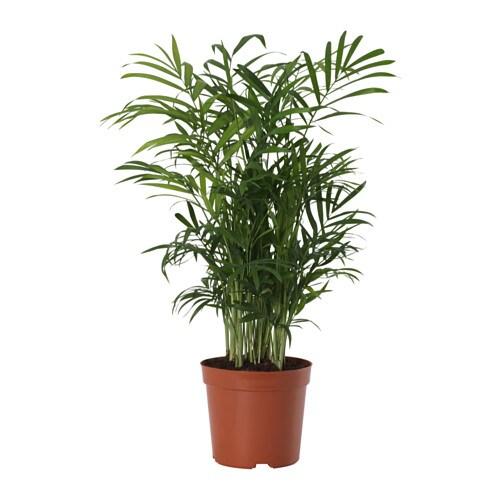 Chamaedorea elegans planta ikea for Plantas de interior ikea