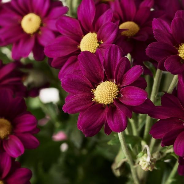 CHRYSANTHEMUM Planta, Crisantemo mezcla de especies de plantas, 19 cm