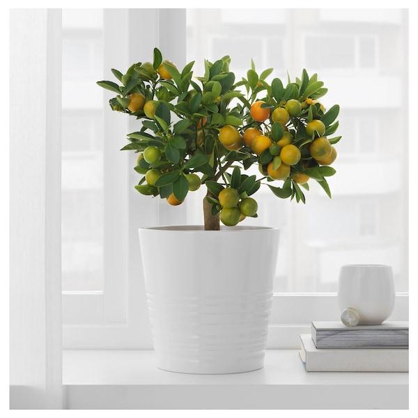 CITRUS Planta, calamondín, 15 cm