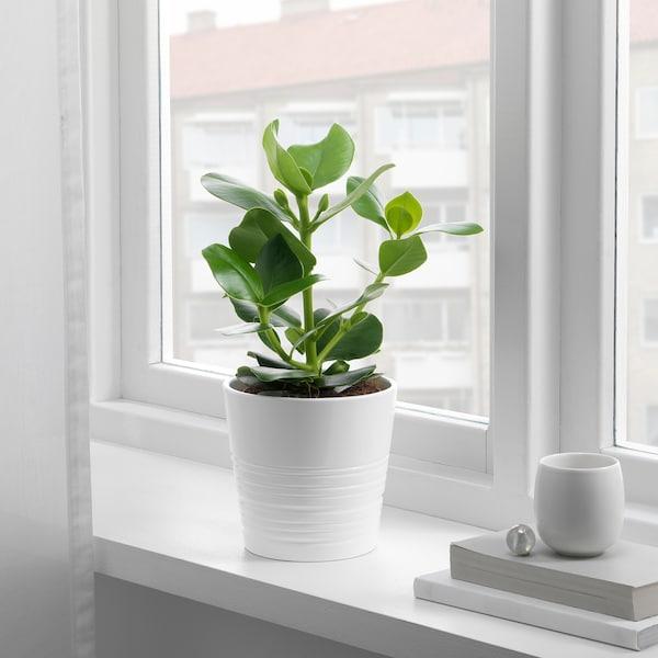 CLUSIA Planta, 12 cm