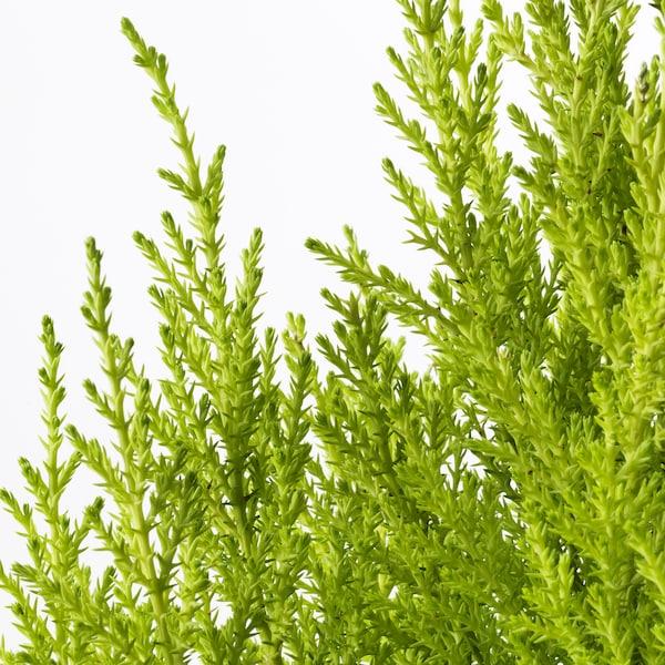 CUPRESSUS MACROCARPA Planta, Ciprés, 24 cm