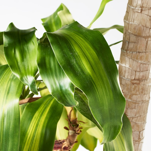 DRACAENA MASSANGEANA Planta, Tronco de Brasil/2 troncos, 24 cm