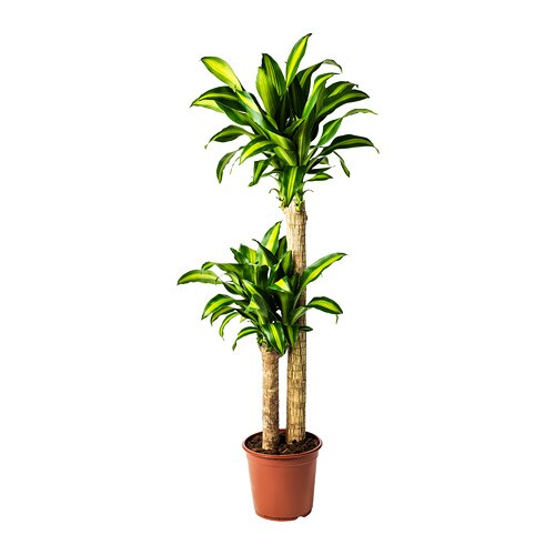 dracaena massangeana planta tronco de brasil 2 troncos 24 cm ikea