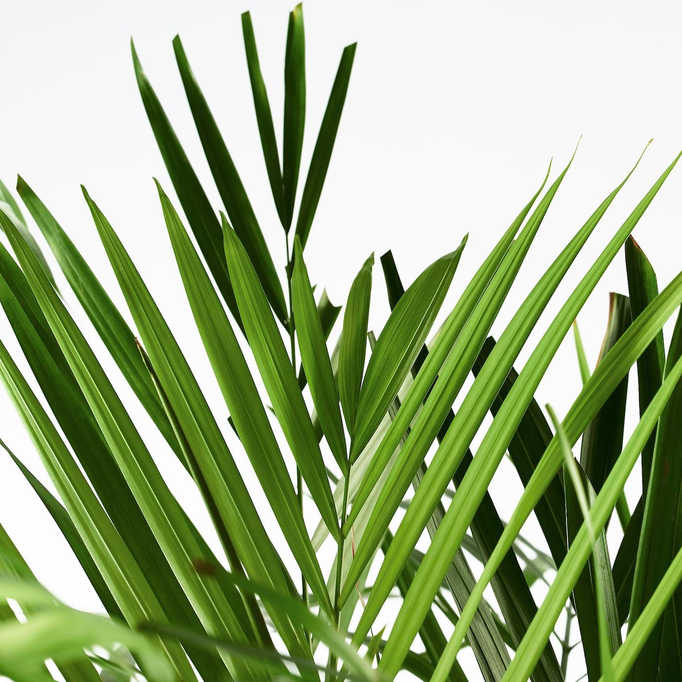 DYPSIS LUTESCENS Planta chrysalidocarpus lutescens 24 cm