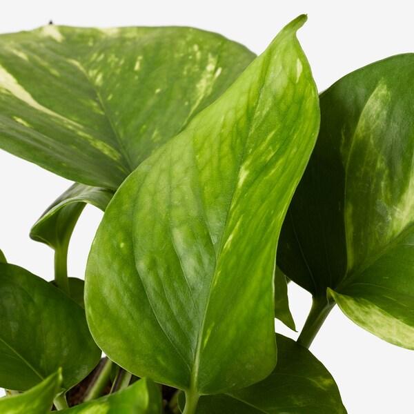 EPIPREMNUM Planta, pothos, 12 cm