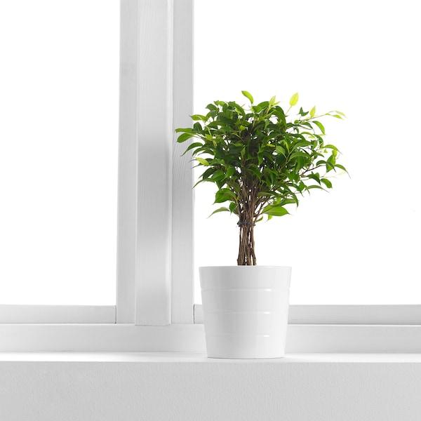 FICUS BENJAMINA 'NATASJA' Planta, ficus benjamina natasia, 12 cm