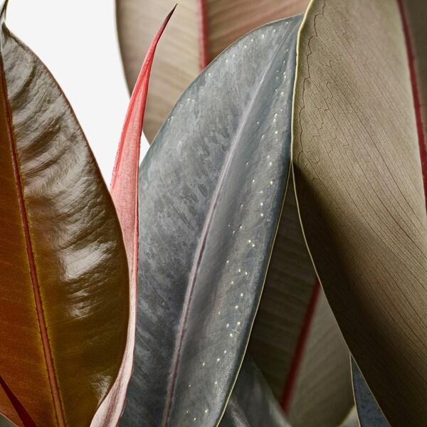 FICUS ELASTICA Planta, Árbol del caucho mezcla de especies de plantas, 19 cm