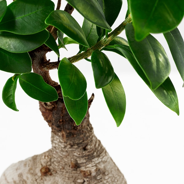 FICUS MICROCARPA GINSENG planta con maceta bonsai/colores variados 14 cm 30 cm
