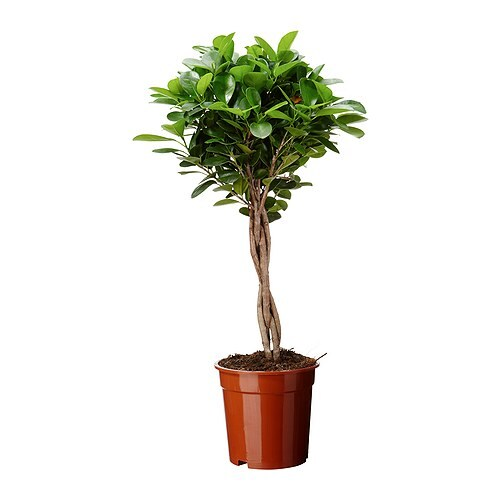 Ficus microcarpa moclame planta ikea - Ficus benjamina precio ...