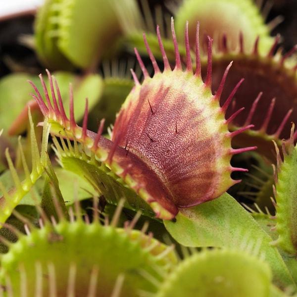 GRÖNSKAN Planta, planta carnívora, mezcla de especies de