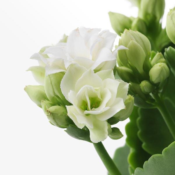 KALANCHOE Planta, kalanchoe blossfeldiana, 12 cm