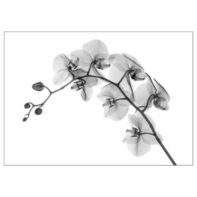 KATEBO Lámina, orquídea/poliestireno, 70x50 cm