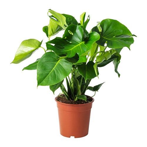 monstera planta cerimán 21 cm ikea