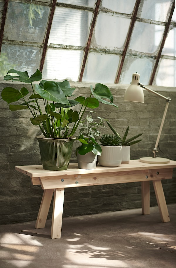 MONSTERA Planta, cerimán, 21 cm