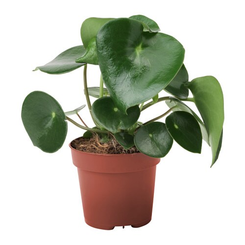 Peperomia Polybotrya Planta 12 Cm Ikea
