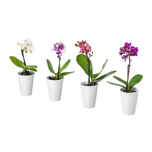 PHALAENOPSIS Planta con maceta Orquídea/colores variados 6 cm - IKEA