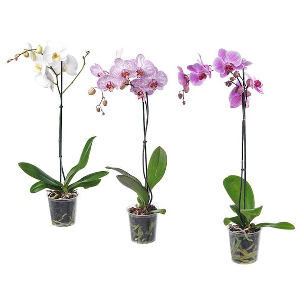PHALAENOPSIS Planta, orquídea/1 tallo colores variados, 12 cm
