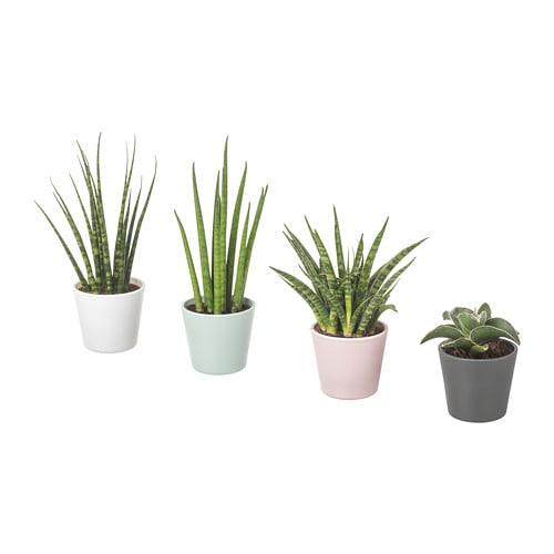 sansevieria planta con maceta sansevieria cylindrica colores variados 6 cm ikea. Black Bedroom Furniture Sets. Home Design Ideas