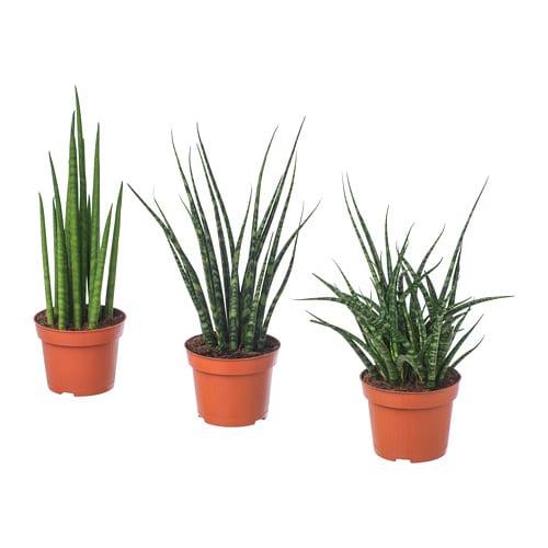 Muebles De Exterior Carrefour : Sansevieria planta mezcla de especies plantas cm ikea